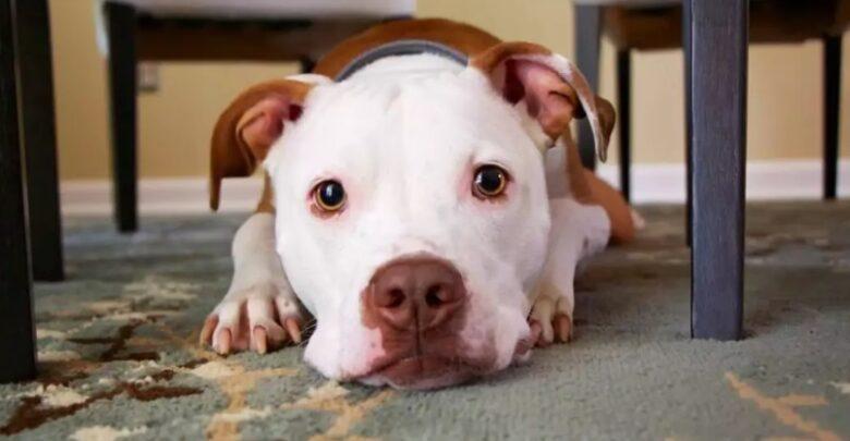 Cachorro infectado pelo coronavírus é sacrificado nos Estados Unidos 1